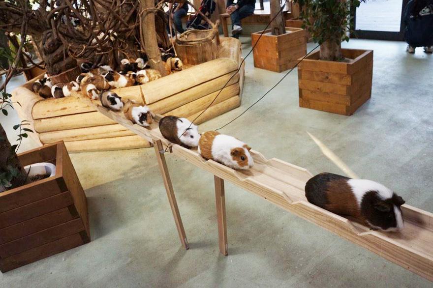 guinea-pig-bridge-1