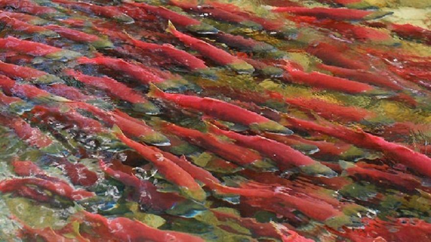 Sockeye Salmon, Canada