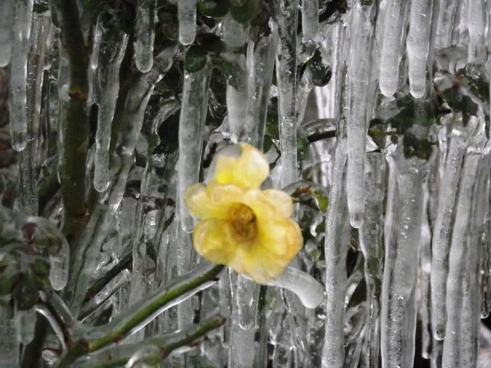 Iced Yellow Flower