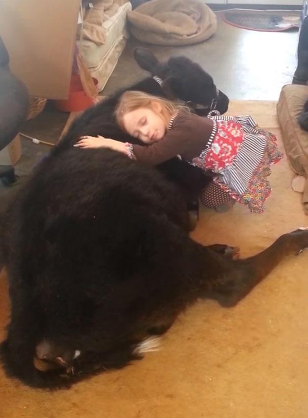 little-girl-pet-calf-cow-nap-breanna-izzy-10