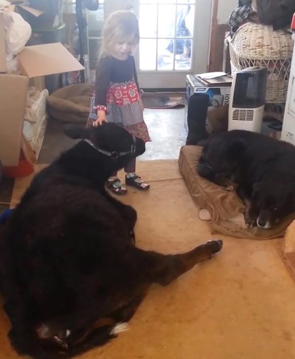 little-girl-pet-calf-cow-nap-breanna-izzy-2