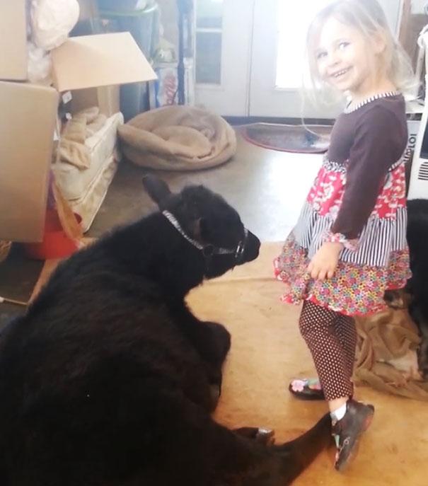 little-girl-pet-calf-cow-nap-breanna-izzy-4