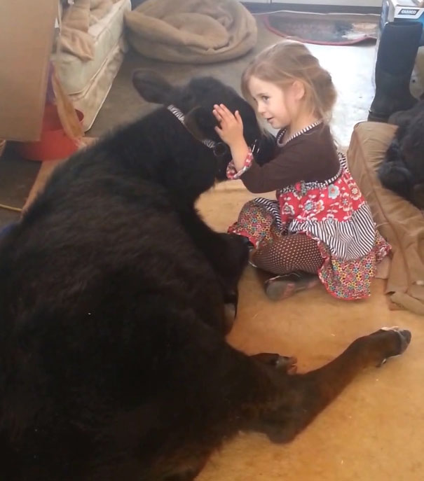 This 5 Year Old Girl Sneaked A Baby Cow Into Her Home To