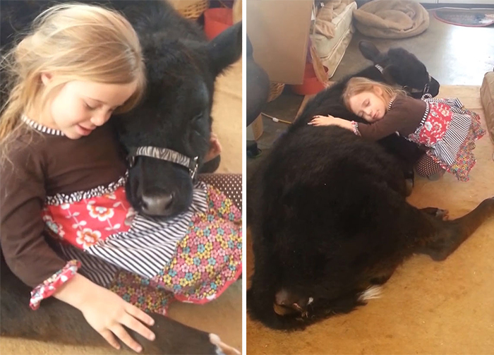This 5-Year-Old Girl Sneaked A Baby Cow Into Her Home To Cuddle With It