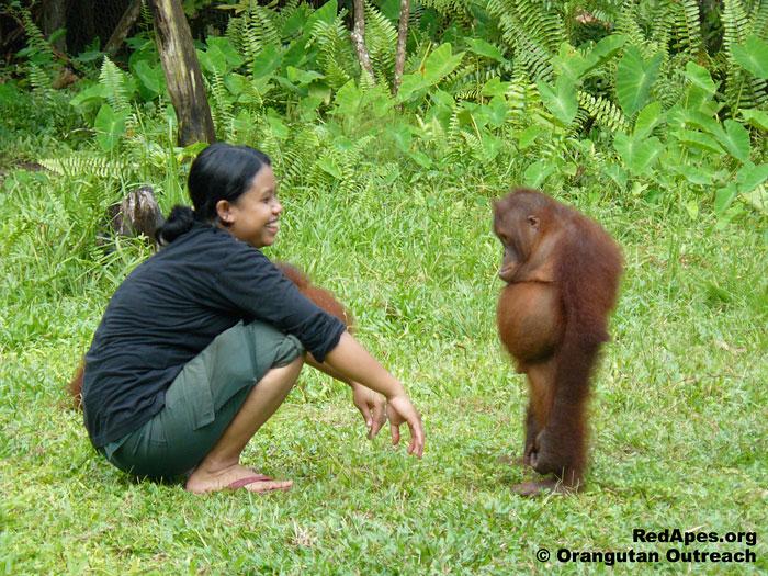 Standoff Between Orangutan And Its Babysitter