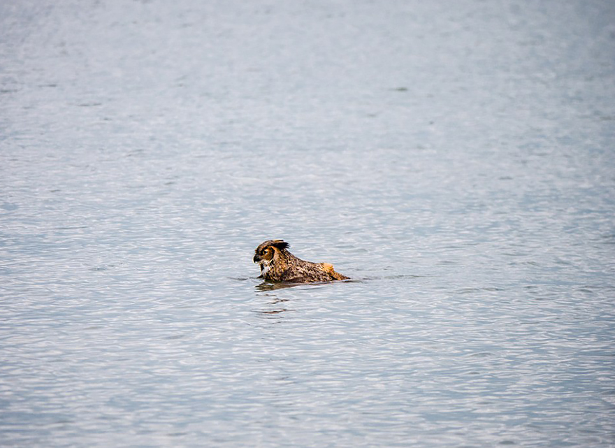 owl-can-swim-lake-michigan-1