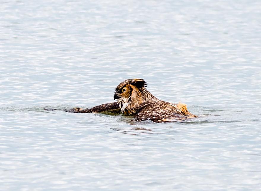 owl-can-swim-lake-michigan-2