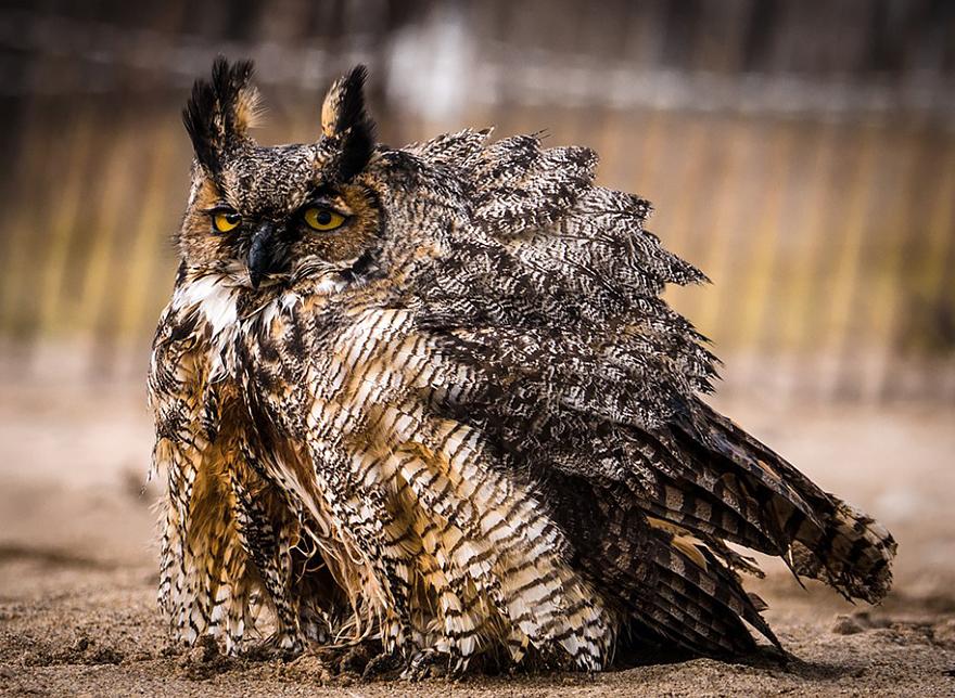 owl-can-swim-lake-michigan-6