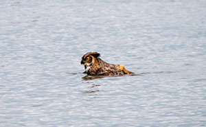 Apparently, Owls Can Swim Now