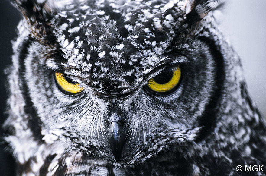 Gallery For gt Owl Photography