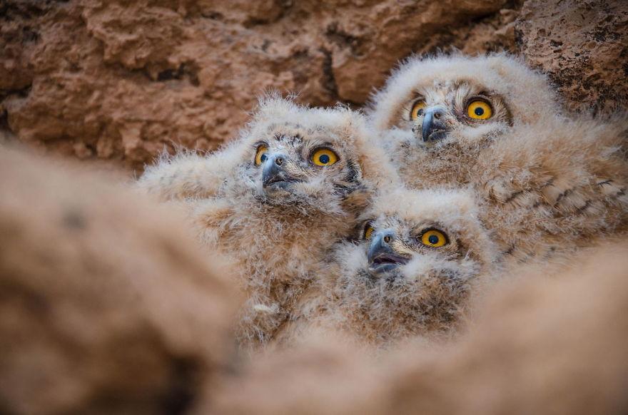 Eagle Owl Nestlings