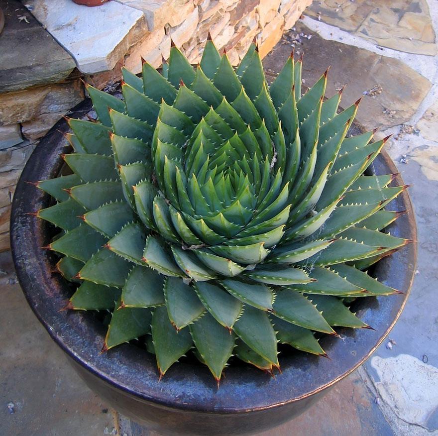 Spiraling Succulent