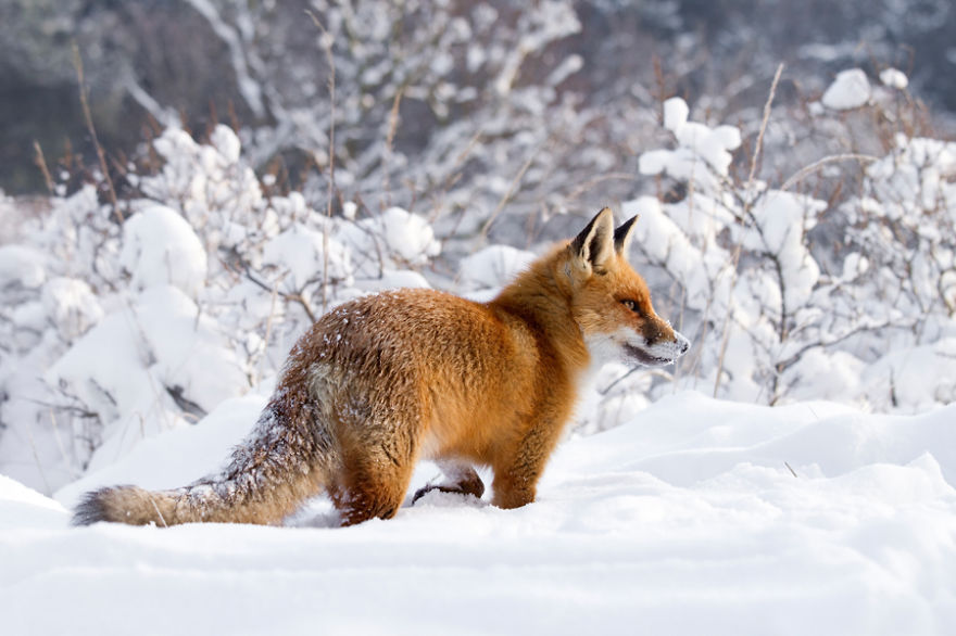 red fox in snow -#main