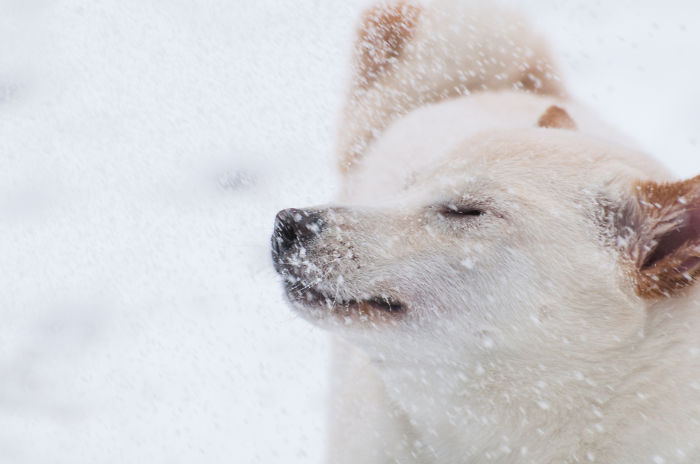 Butters (Shiba Inu) First Snow Day