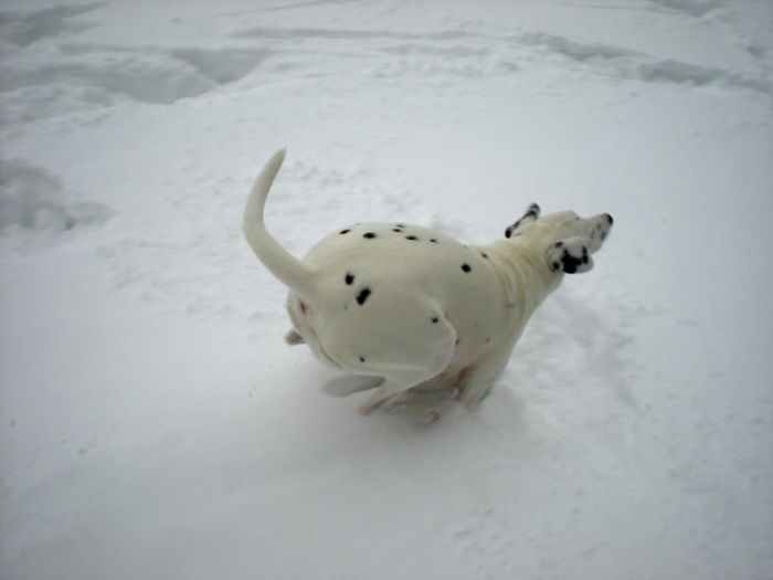Dalmatian Dilly Running In The Snow.