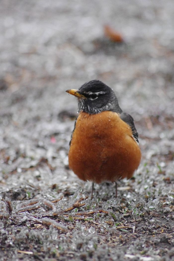 Robin In Ice Storm