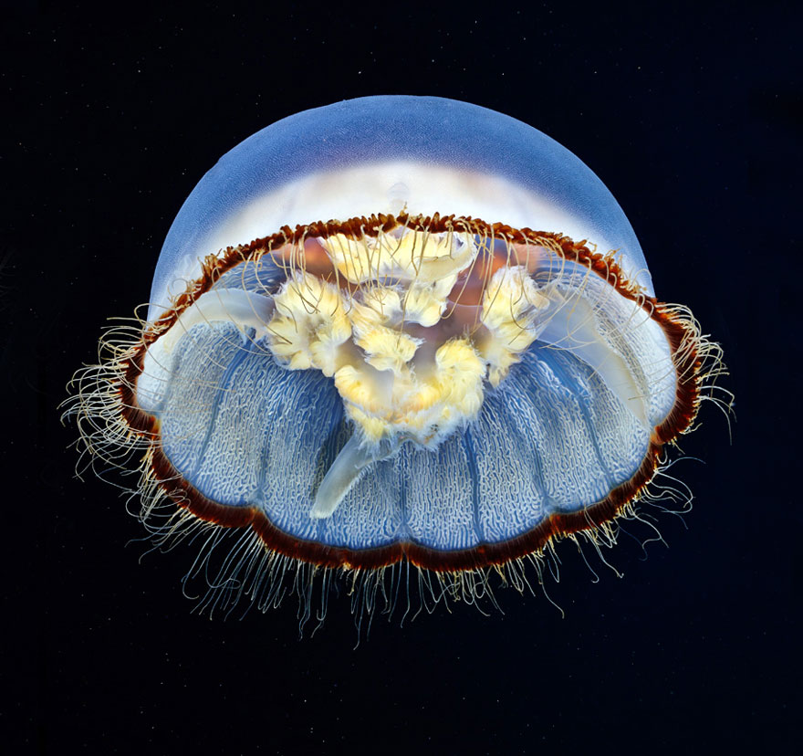 underwater-jellyfish-alexander-semenov-aquatis-30
