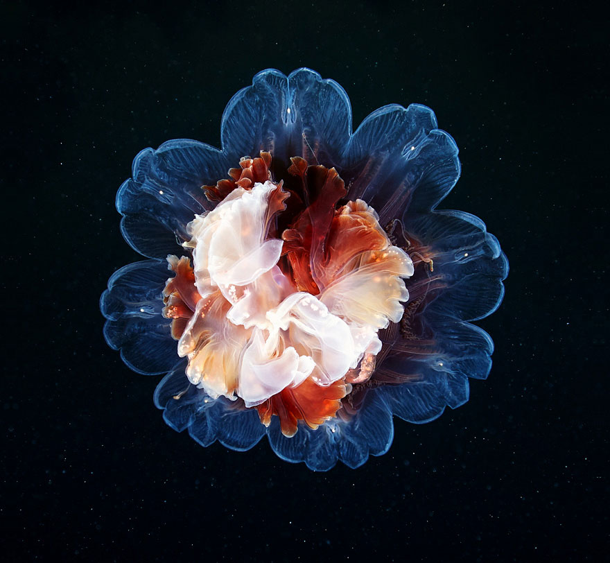 underwater-jellyfish-alexander-semenov-aquatis-66