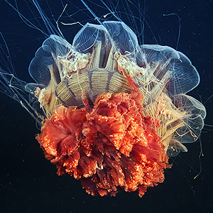 The Alien Beauty Of Jellyfish In Alexander Semenov's New Photos