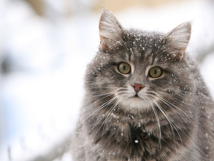 Beautiful Cats Playing In Snow