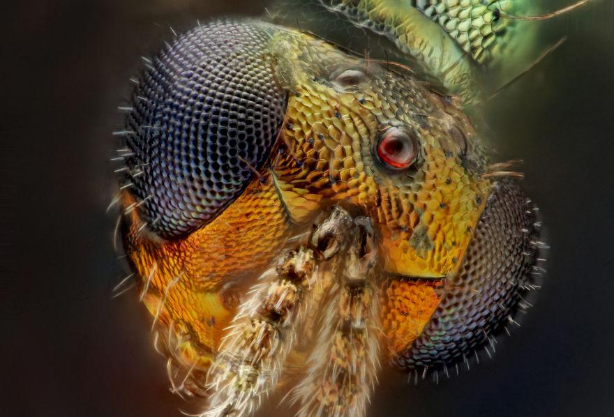 Parasitic Wasp; Pediobius Sp. (chalcidoidea- Eulophidae)