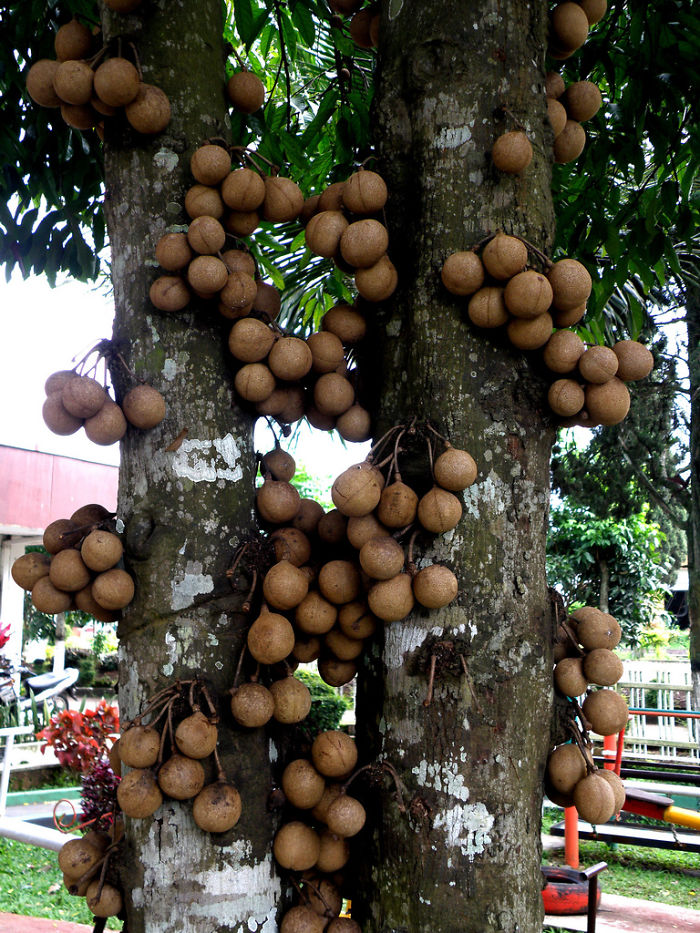 Kepel (stelechocarpus Burahol)