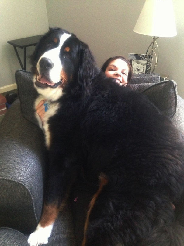 Dog Doesn't Know How Big It Is