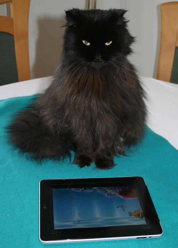 Our Beloved Tomcat, Sitting On The Dinner Table And Enjoying The Ipad Aquarium