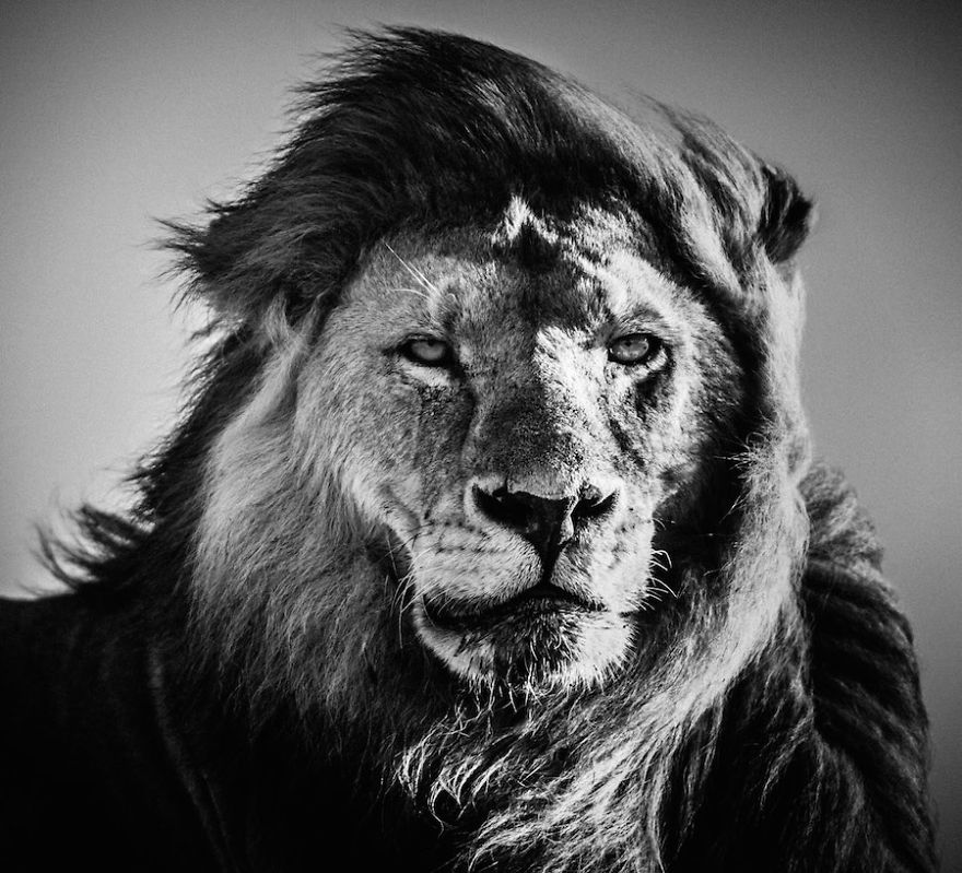dramatic black and white photos of african wildlife by laurent