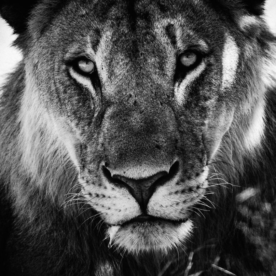 Dramatic Black And White Photos Of African Wildlife By ...