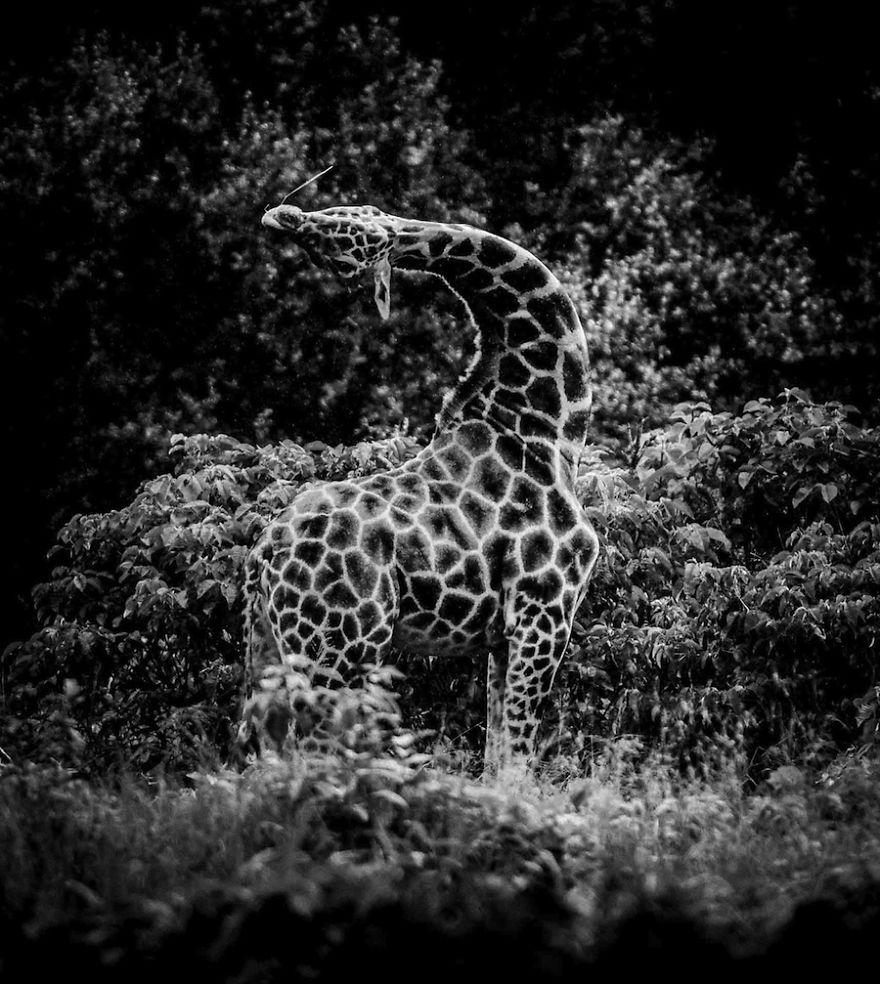 Reticulated giraffe shattered kenya 2013