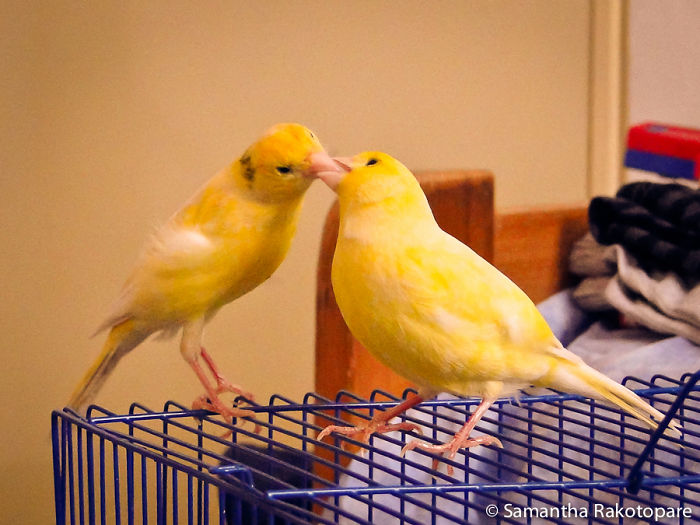 My Canaries, Lewis And Fifi