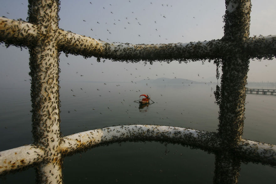 Flies Gather On Railings Because Of Polluted Water, East Lake, Wuhan