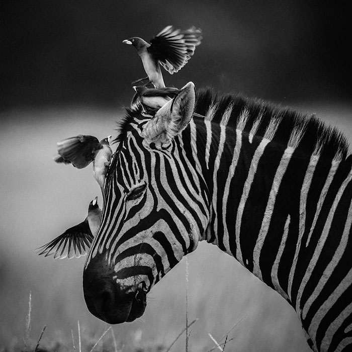 Dramatic Black And White Photos Of African Wildlife By Laurent Baheux