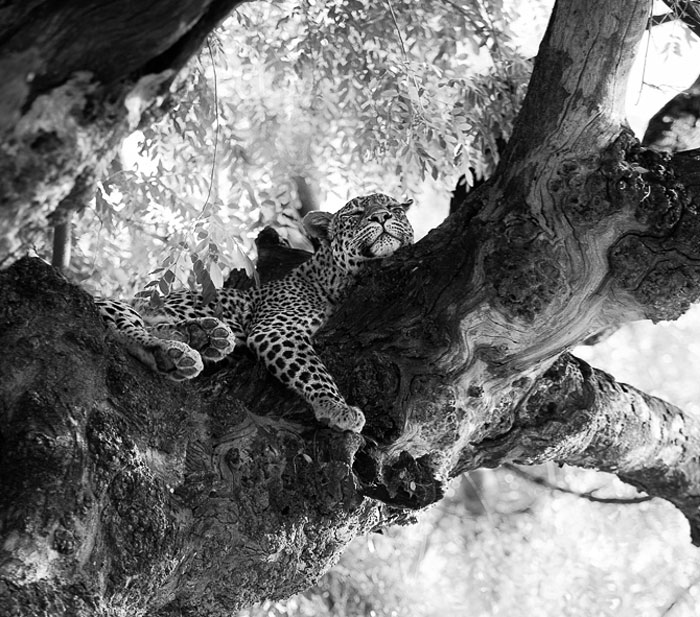 African Wildlife In Black And White