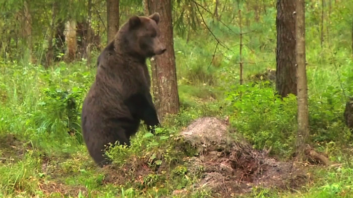 Wach Wild Bears In Estonia