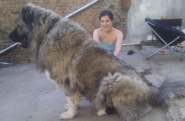 http://static.boredpanda.com/blog/wp-content/uploads/2015/01/big-dogs-funny-pictures-3__605.jpg