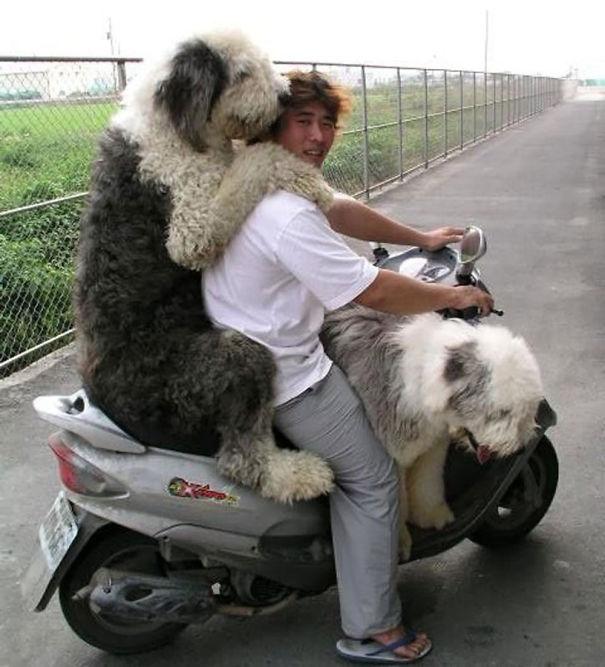 http://static.boredpanda.com/blog/wp-content/uploads/2015/01/big-dogs-funny-pictures-4__605.jpg