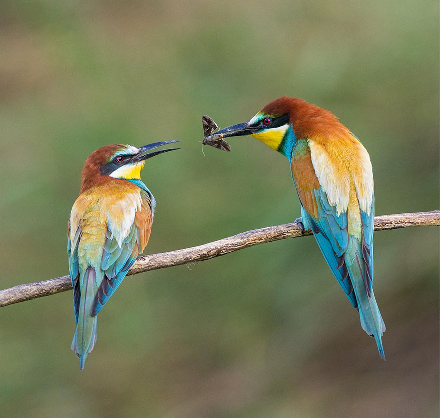 Male European Bee-eater Presenting A Female With A Gift Of A Moth