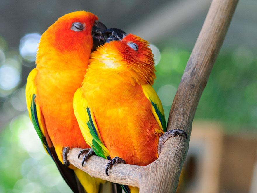 Parrots Couple