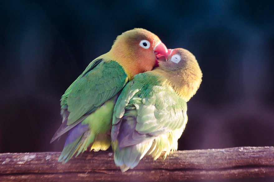 Inseparable Bird