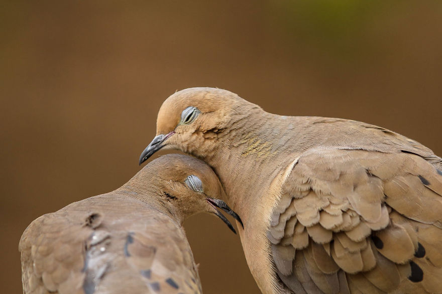 A Mourning Dove Couple Enjoy Each Others Company