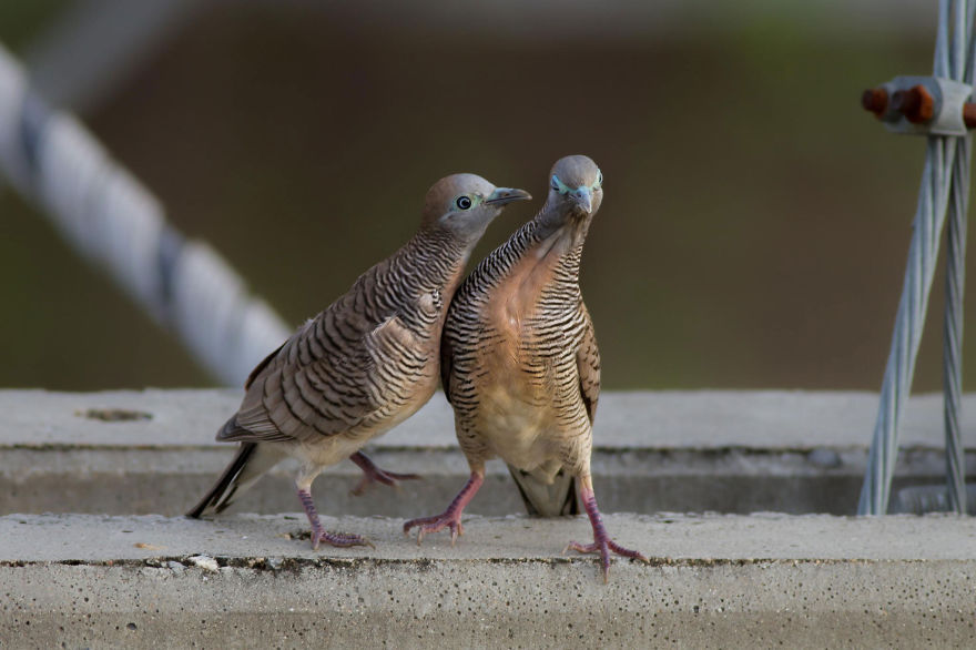 Couple Zebra Dove