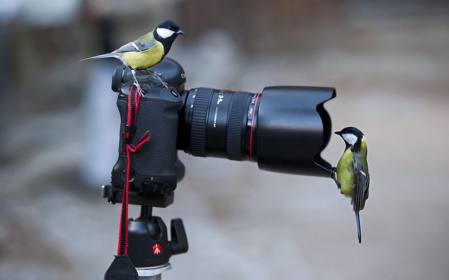 Great Titmouses Like Camera