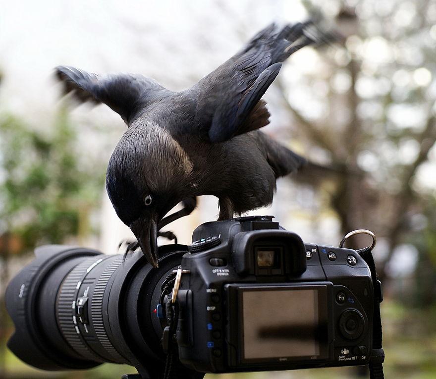 Eurasian Jackdaw (corvus Monedula) Research Strap
