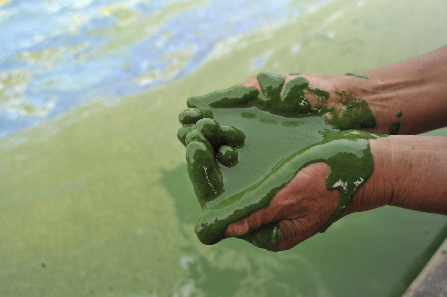 Fisherman Fills His Palms With Water From The Algae-filled Chaohu Lake In Hefei