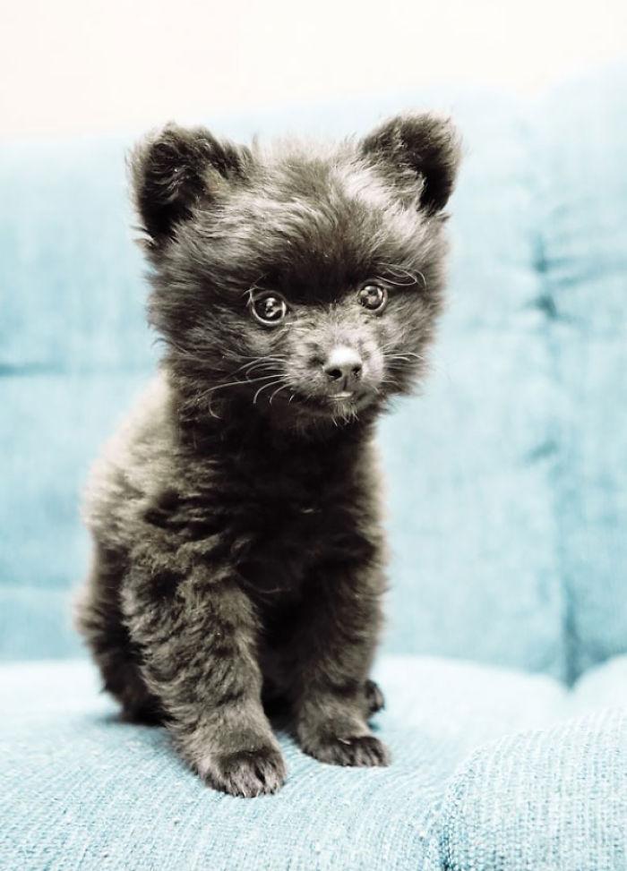 Pomeranian Puppy Bored Panda