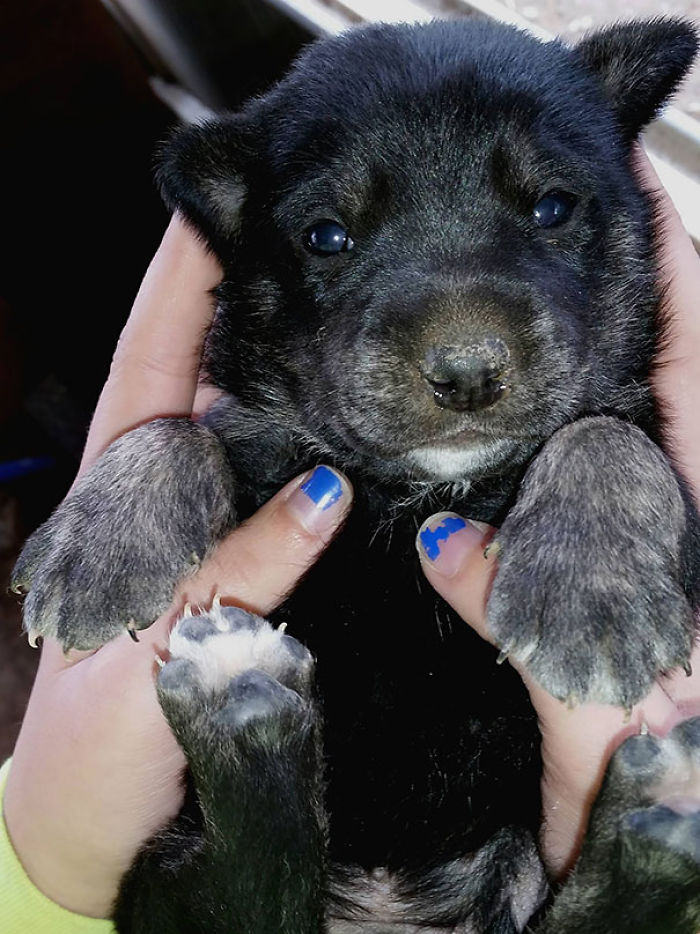 Amazing Cub Chubby Adorable Dog - chubby-puppies-bear-cub-look-alikes-22__700  Pictures_272640  .jpg