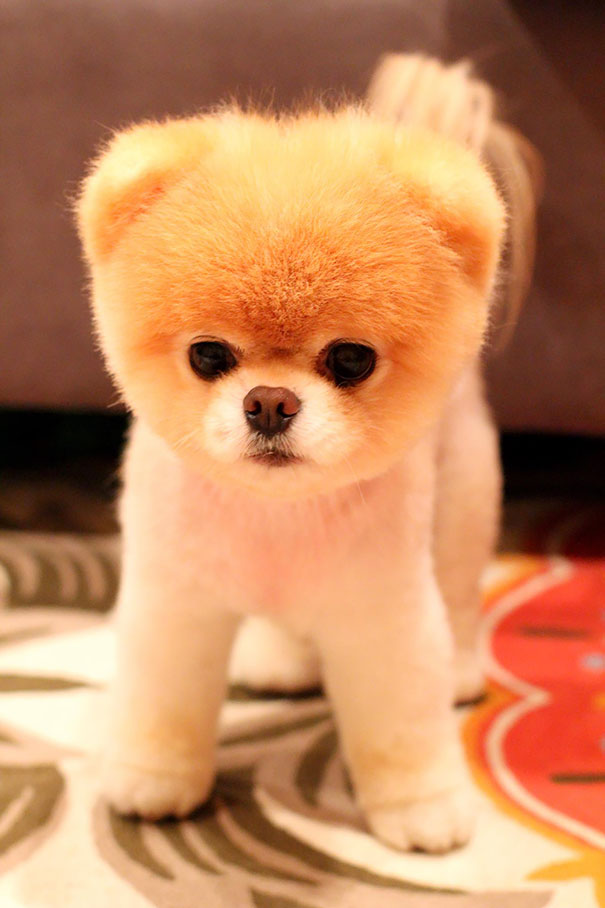 Must see Panda Chubby Adorable Dog - chubby-puppies-bear-cub-look-alikes-8__605  Pic_9079100  .jpg