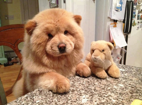 Dog that looks like a lion breed
